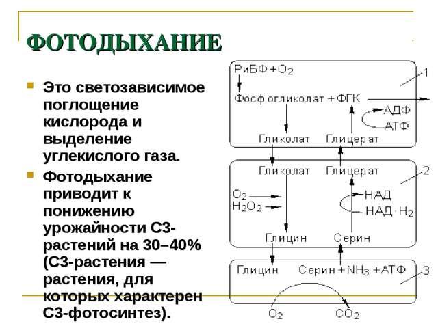 ФОТОДЫХАНИЕ Это светозависимое поглощение кислорода и выделение углекислого г...
