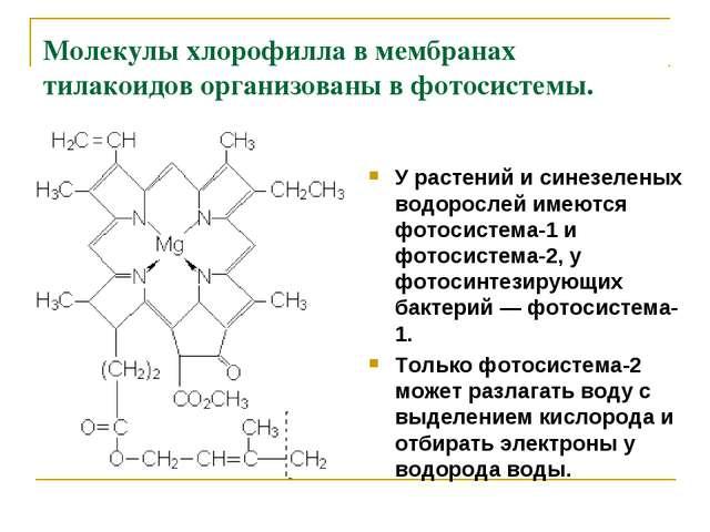 Молекулы хлорофилла в мембранах тилакоидов организованы в фотосистемы. У раст...