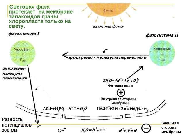 Световая фаза протекает на мембране тилакоидов граны хлоропласта только на с...
