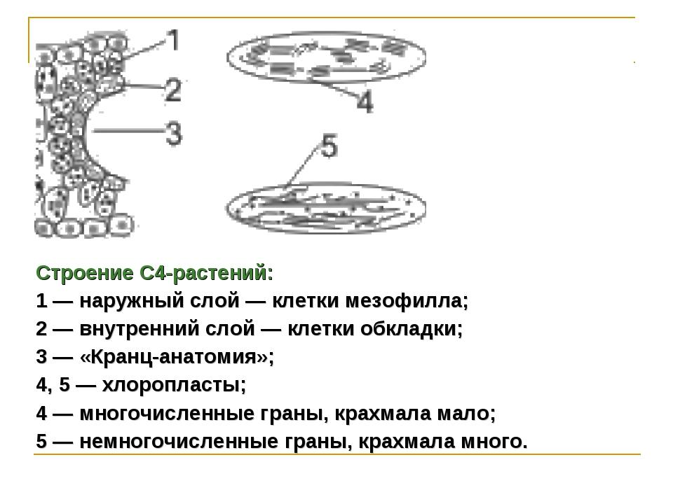 Строение С4-растений: 1 — наружный слой — клетки мезофилла; 2 — внутренний сл...