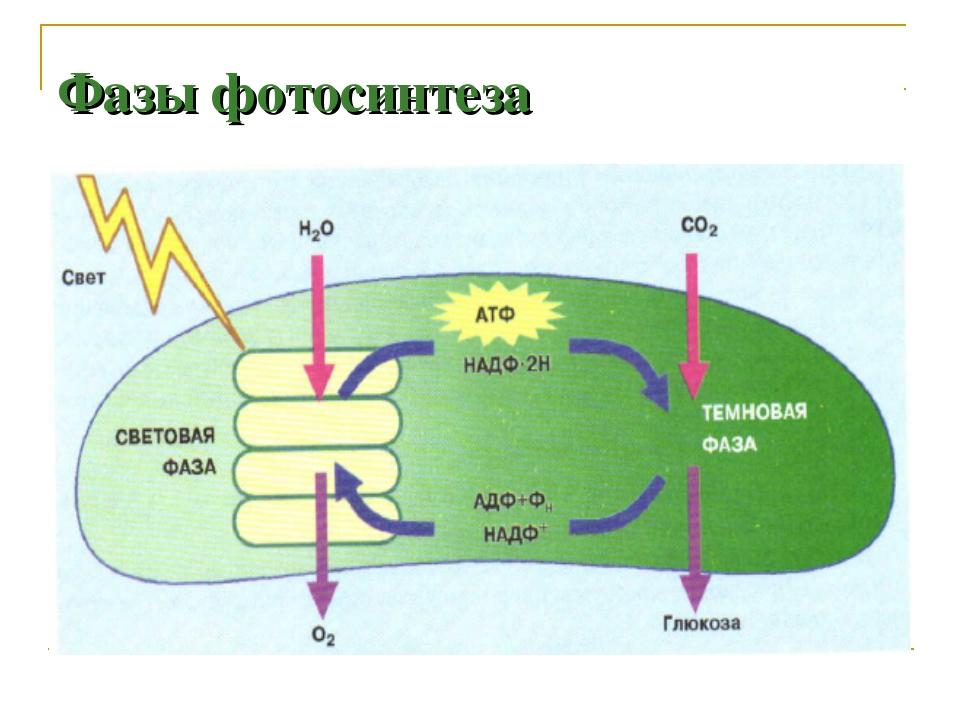 Фазы фотосинтеза