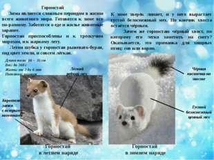 Горностай Зима является сложным периодом в жизни всего животного мира. Готовя