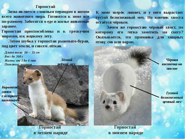 Горностай Зима является сложным периодом в жизни всего животного мира. Готовя...