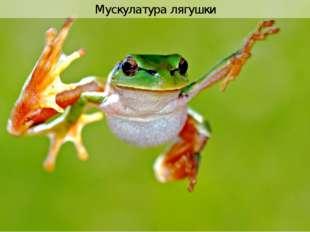 Мускулатура лягушки