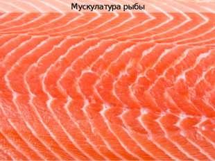 Мускулатура рыбы