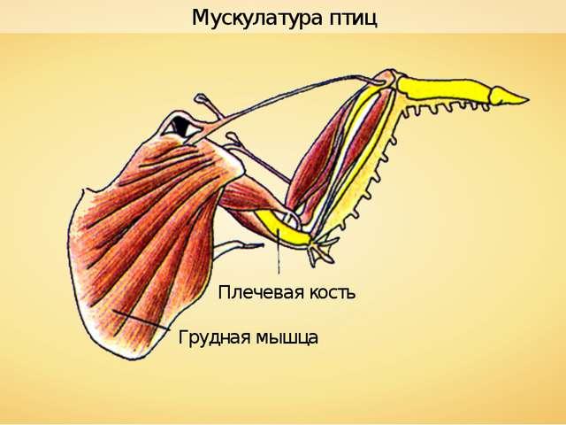 Плечевая кость Грудная мышца Мускулатура птиц