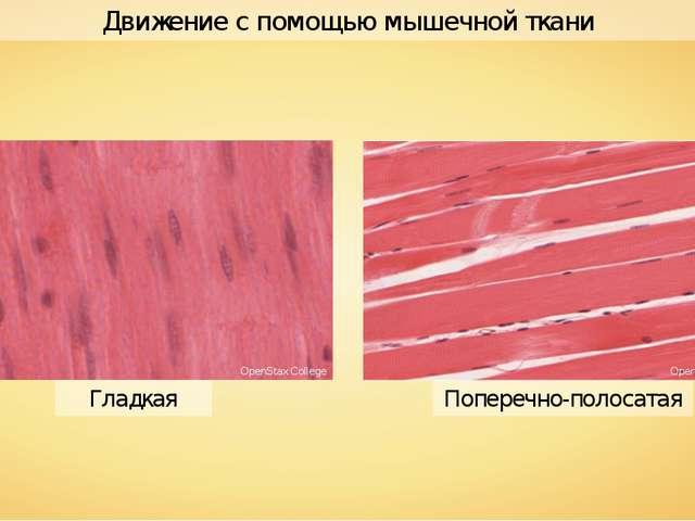 Поперечно-полосатая Гладкая Движение с помощью мышечной ткани OpenStax Colleg...