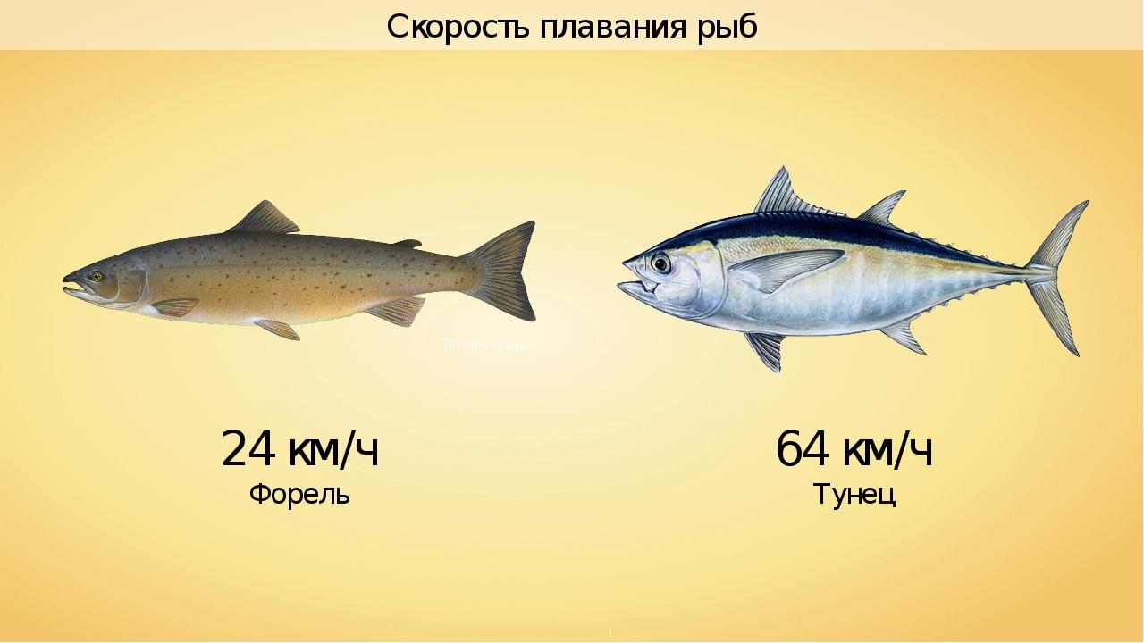 24 км/ч Форель 64 км/ч Тунец Скорость плавания рыб Timothy Knepp