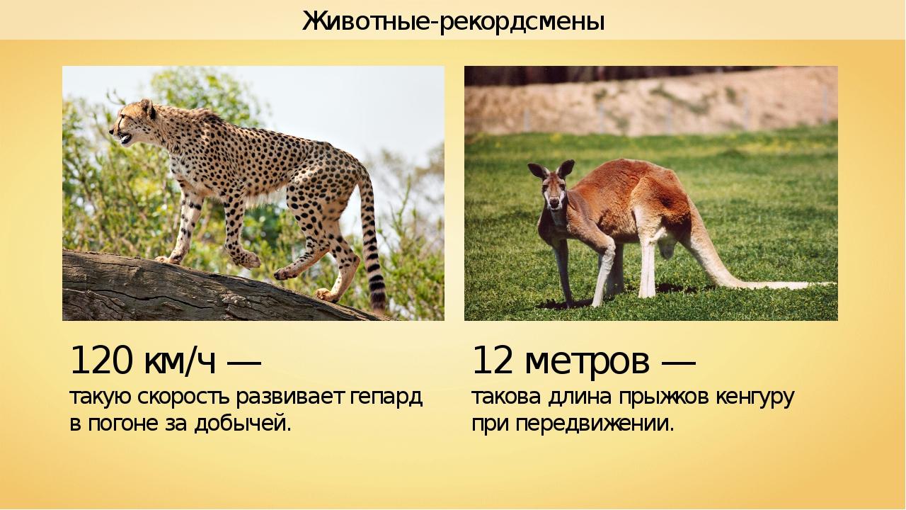 Животные-рекордсмены 12 метров — такова длина прыжков кенгуру при передвижени...