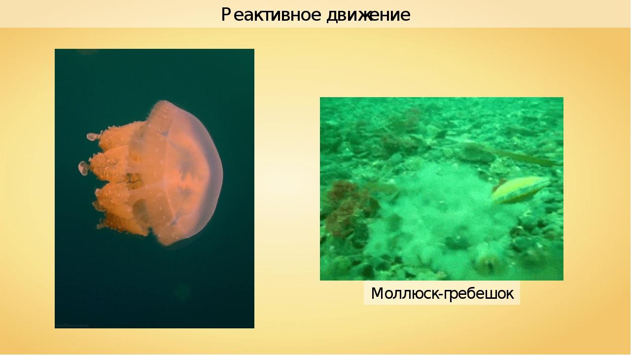Моллюск-гребешок Реактивное движение