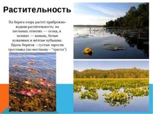На берега озера растет прибрежно-водная растительность: на песчаных отмелях—
