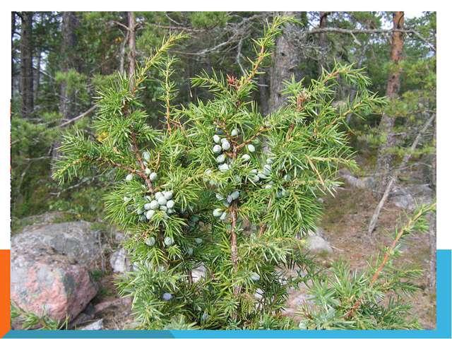 Самые распространенные деревья - ель, сосна, береза, осина. Много рябины, ивы...