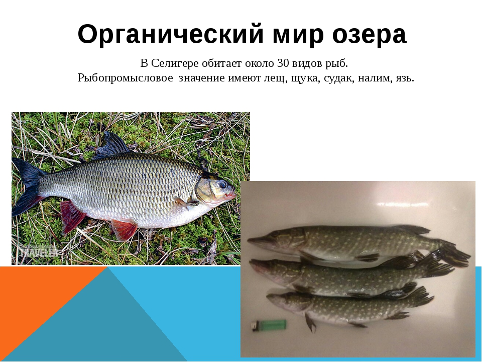 Органический мир озера В Селигере обитает около 30 видов рыб. Рыбопромысловое...