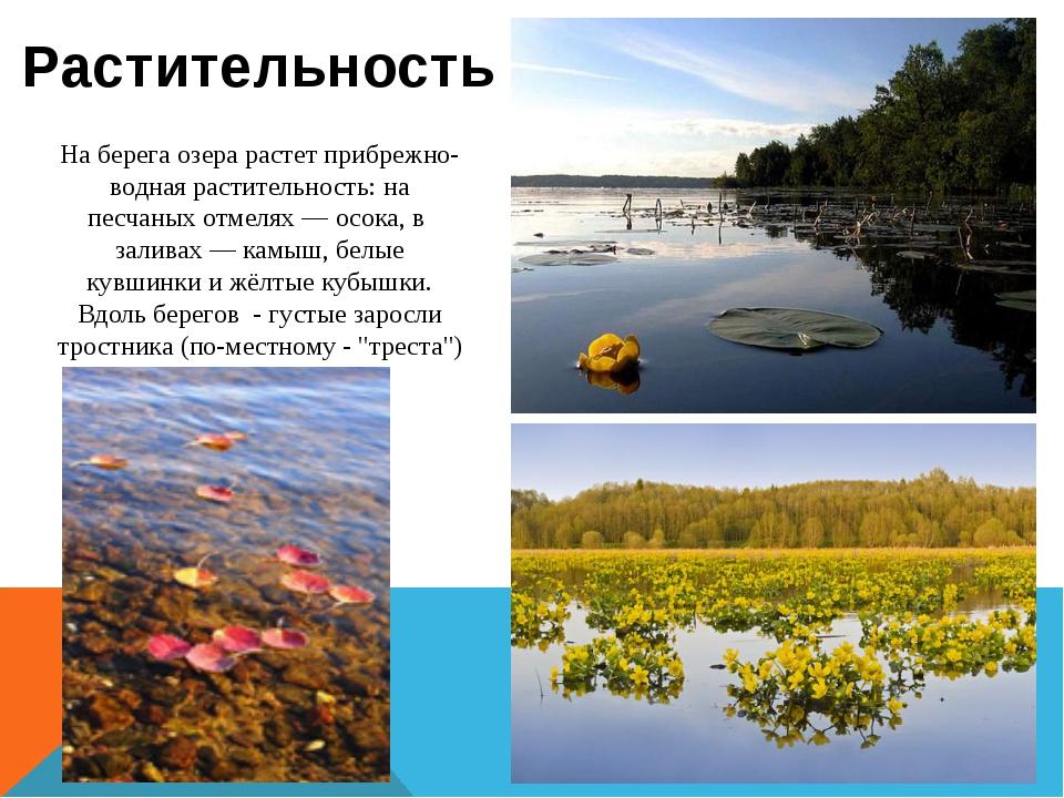 На берега озера растет прибрежно-водная растительность: на песчаных отмелях—...