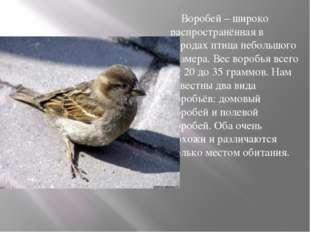 Воробей – широко распространённая в городах птица небольшого размера. Вес во