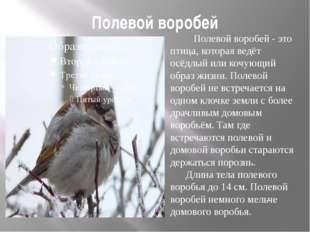 Полевой воробей Полевой воробей - это птица, которая ведёт осёдлый или кочующ