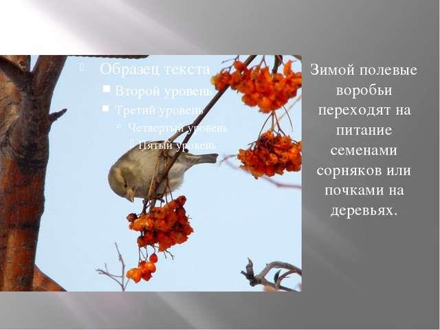 Зимой полевые воробьи переходят на питание семенами сорняков или почками на д...