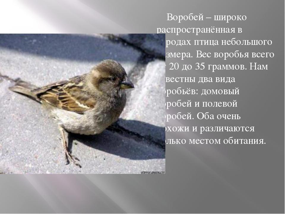 Воробей – широко распространённая в городах птица небольшого размера. Вес во...