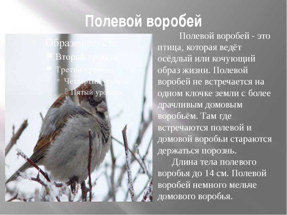 Полевой воробей Полевой воробей - это птица, которая ведёт осёдлый или кочующ...