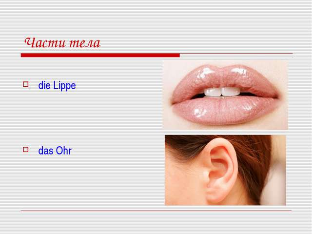 Части тела die Lippe das Ohr