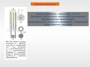 Жгутики и реснички Органы движения, структура «9 + 2». Движение обусловлено в