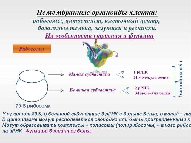 Немембранные органоиды клетки: рибосомы, цитоскелет, клеточный центр, базаль...
