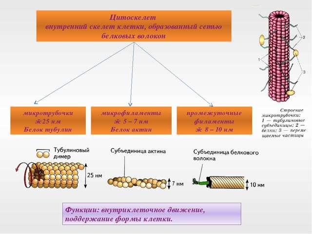 Цитоскелет внутренний скелет клетки, образованный сетью белковых волокон микр...