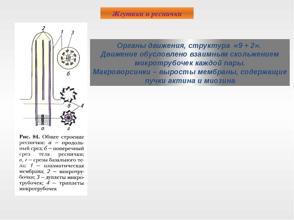 Жгутики и реснички Органы движения, структура «9 + 2». Движение обусловлено в...