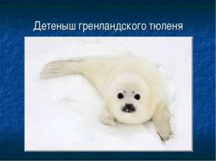 Детеныш гренландского тюленя