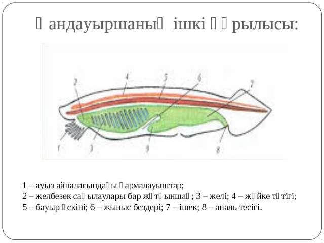Қандауыршаның ішкі құрылысы: 1 – ауыз айналасындағы қармалауыштар; 2 – желбез...