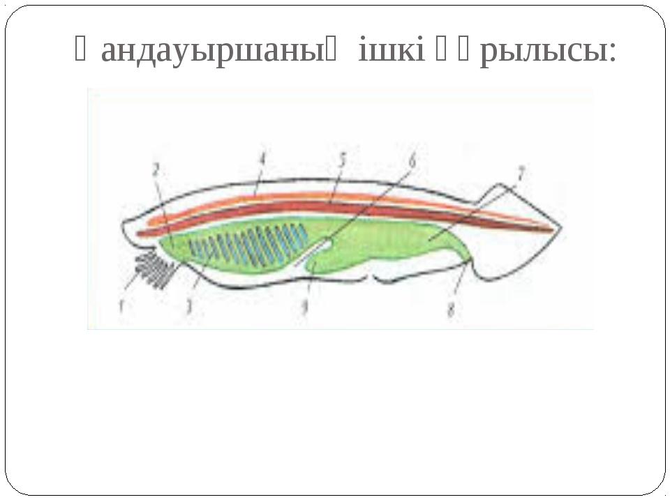 Қандауыршаның ішкі құрылысы: