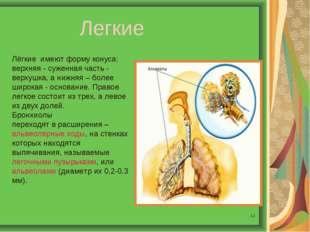 * Легкие Лёгкие имеют форму конуса: верхняя - суженная часть - верхушка, а ни