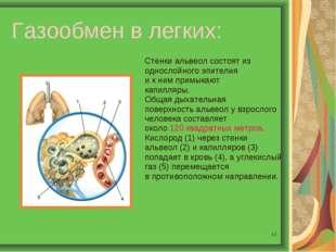 * Газообмен в легких: Стенки альвеол состоят из однослойного эпителия и к ним