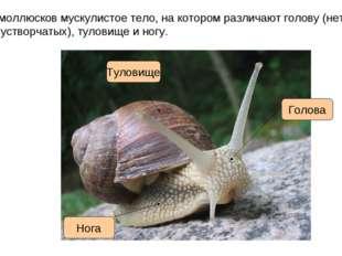 У моллюсков мускулистое тело, на котором различают голову (нет у двустворчаты