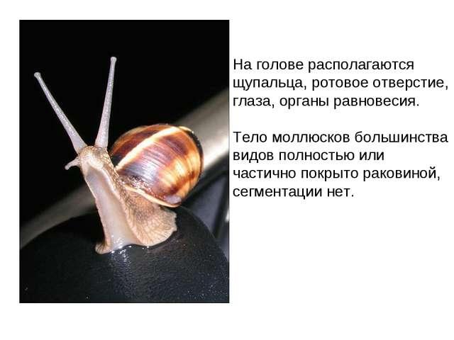 На голове располагаются щупальца, ротовое отверстие, глаза, органы равновесия...