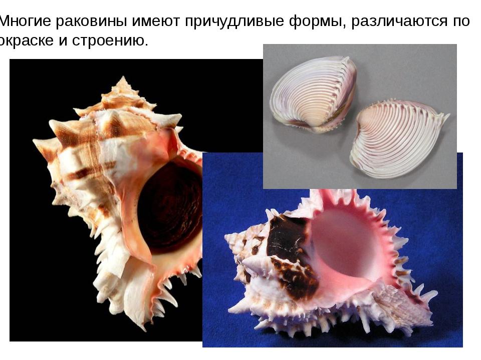 Многие раковины имеют причудливые формы, различаются по окраске и строению.