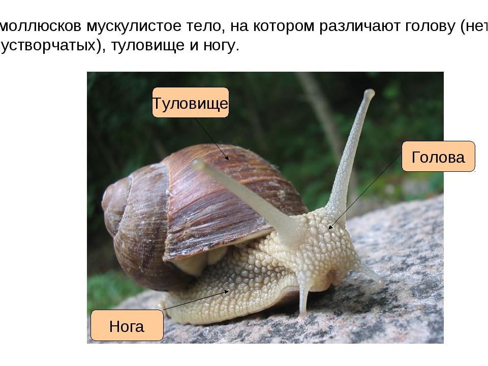 У моллюсков мускулистое тело, на котором различают голову (нет у двустворчаты...