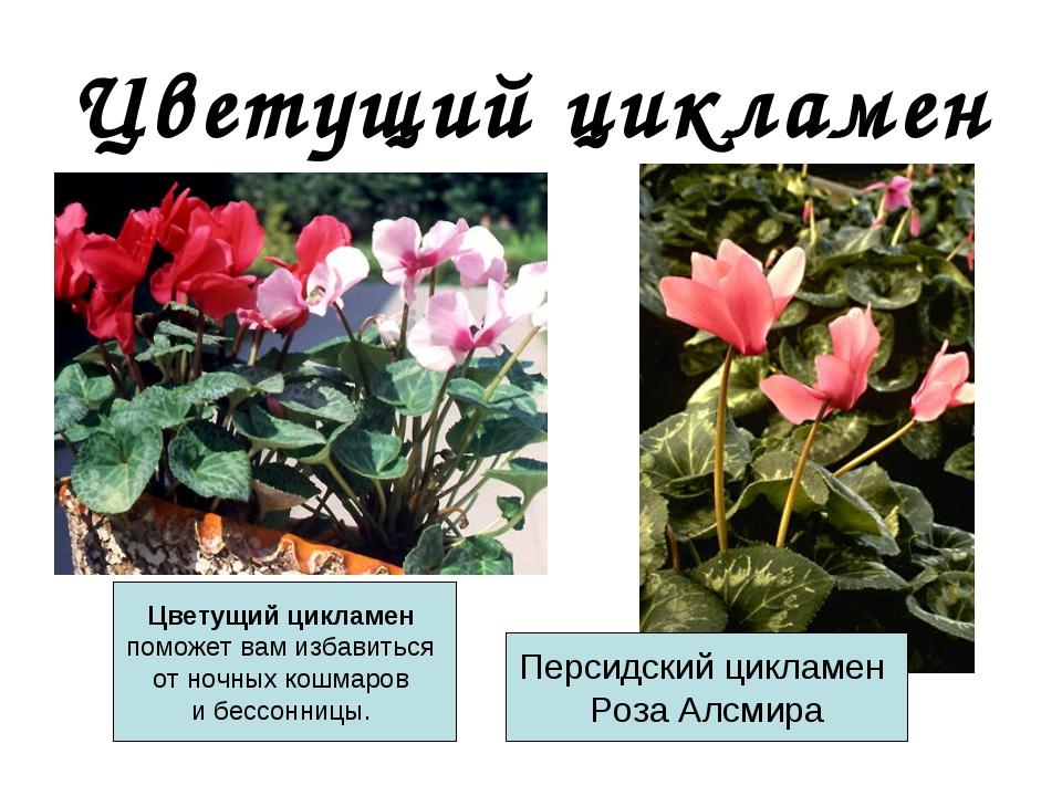 Цикламен цветов описание