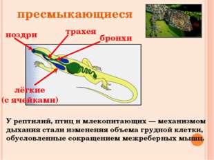 ноздри трахея бронхи лёгкие (с ячейками) пресмыкающиеся У рептилий, птиц и мл