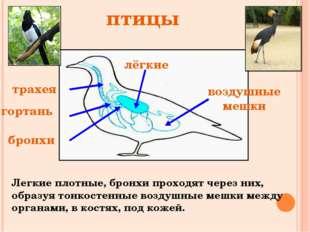трахея гортань бронхи лёгкие воздушные мешки птицы Легкие плотные, бронхи про