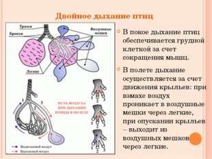 Двойное дыхание птиц В покое дыхание птиц обеспечивается грудной клеткой за с