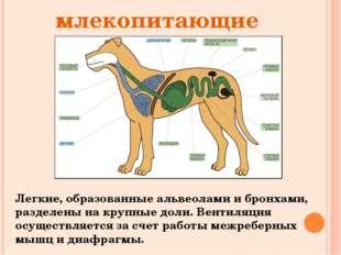млекопитающие Легкие, образованные альвеолами и бронхами, разделены на крупн