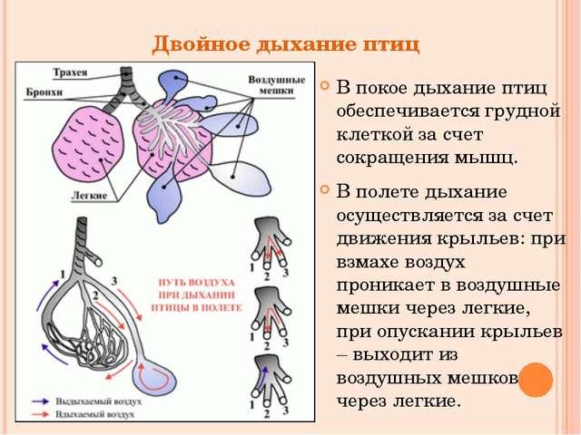 Двойное дыхание птиц В покое дыхание птиц обеспечивается грудной клеткой за с...