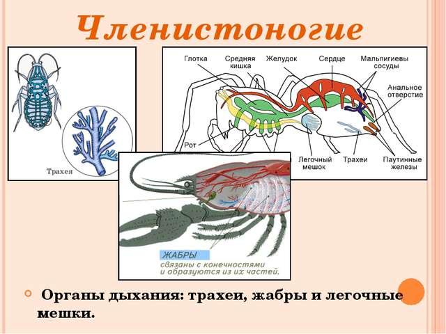 Членистоногие Органы дыхания: трахеи, жабры и легочные мешки.