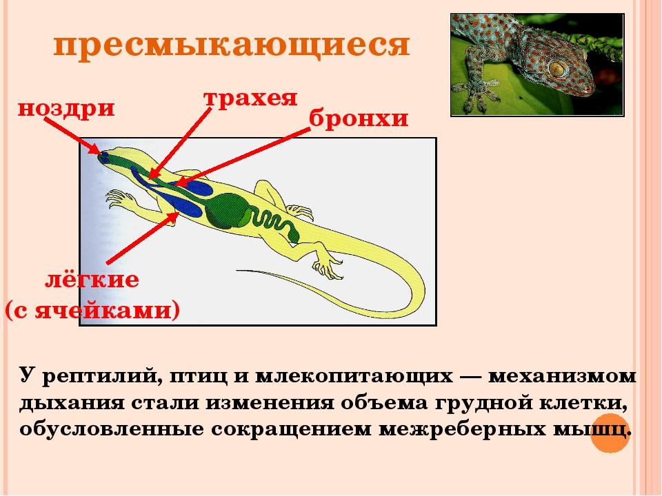 ноздри трахея бронхи лёгкие (с ячейками) пресмыкающиеся У рептилий, птиц и мл...
