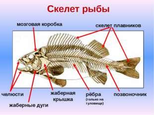 Скелет рыбы скелет плавников мозговая коробка жаберная крышка рёбра (только