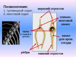 Позвоночник: 1. туловищный отдел; 2. хвостовой отдел рёбра нижний отросток ве