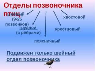 Отделы позвоночника птиц шейный (9-25 позвонков) грудной (с рёбрами) поясничн