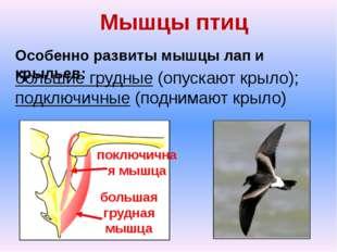 Мышцы птиц Особенно развиты мышцы лап и крыльев: большие грудные (опускают кр