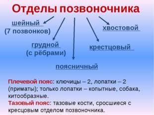 Отделы позвоночника шейный (7 позвонков) грудной (с рёбрами) поясничный крест